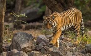 Картинка тигр, дикая кошка, камни