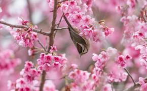 Картинка цветы, ветки, вишня, птица, весна, сакура, розовые, серая, птичка, цветение, в цвету