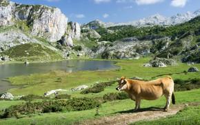Картинка зелень, трава, горы, озеро, камни, скалы, холмы, берег, растительность, корова, пастбище, водоем, бык