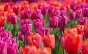 Картинка свет, цветы, яркие, весна, тюльпаны, красные, розовые, бутоны, клумба, много, боке, плантация, тюльпановое поле