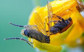 Картинка цветок, капли, макро, желтый, муха, фон, паук, лепестки, насекомое, добыча