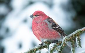 Картинка зима, снег, птица, розовая, ветка, хвоя, щур