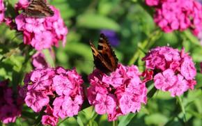 Картинка цветы, природа, розовый, весна, Бабочка, гвоздика