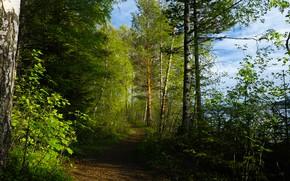 Картинка зелень, лес, лето, небо, листья, свет, деревья, парк, стволы, дорожка, береза, березы, тропинка, кроны, лесополоса