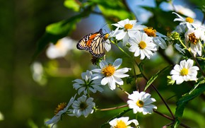 Картинка лето, макро, цветы, бабочка, насекомое, белые, космеи