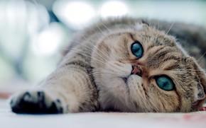 Картинка кот, взгляд, лежит, зеленые глаза