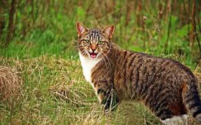 Картинка кошка, природа, мяукает