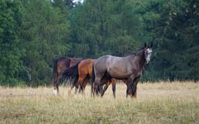 Картинка поле, лес, кони, лошади, трио, пасутся, три коня