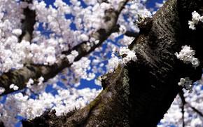Картинка небо, свет, цветы, ветки, синева, дерево, весна, сакура, тени, ствол, кора, белые, цветение, много, цветущее, …