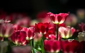 Картинка природа, весна, лепестки, тюльпаны