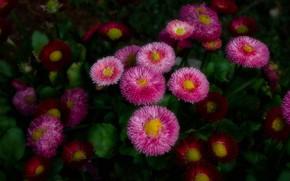Картинка цветы, розовые, клумба, маргаритки
