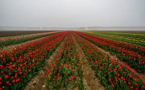 Картинка поле, небо, деревья, цветы, туман, перспектива, весна, даль, утро, тюльпаны, красные, ряды, поле тюльпанов, тропинки, …