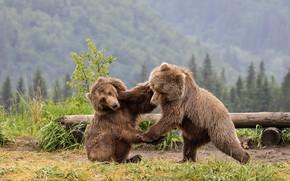 Картинка лес, трава, взгляд, морда, поза, игра, борьба, медведь, драка, пара, парочка, мишки, два, учения, бурый, …