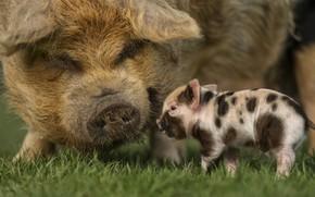 Картинка трава, свинья, маленькая, свиньи