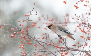 Картинка зима, снег, ветки, ягоды, птица, снегопад, свиристель