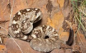 Картинка взгляд, змея, погремушка, гремучая змея
