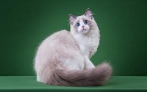 Картинка кошка, кот, взгляд, поза, котенок, светлый, мордочка, хвост, милый, котёнок, голубые глаза, сидит, зеленый фон, ...