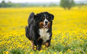 Картинка портрет, цветы, взгляд, собака, желтые, щенок, природа, прогулка, морда, поляна, бег, бернский зенненхунд, поле, одуванчики, …