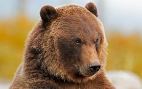 Картинка морда, портрет, медведь, зверь, гризли
