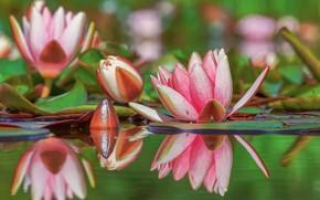 Картинка вода, цветы, природа, отражение, бутоны, кучшинки