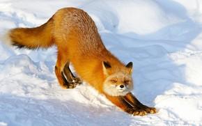 Картинка зима, взгляд, свет, снег, природа, поза, лапы, лиса, сугробы, тени, рыжая, лисица, потягивается