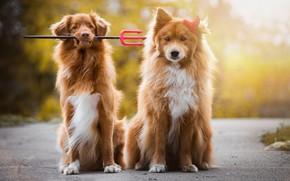 Картинка дорога, осень, собаки, взгляд, морда, свет, природа, поза, фон, собака, щенки, рыжий, дружба, пара, трезубец, ...