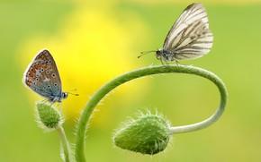 Картинка макро, бабочки, цветы, насекомые, фон, бабочка, две, мак, маки, стебель, пара, изгиб, парочка, дуэт, бутоны, …
