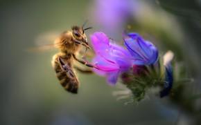 Картинка цветок, макро, пчела
