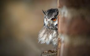 Картинка глаза, взгляд, природа, серый, фон, сова, птица, портрет, столб, выглядывает, филин, оперение, размытый