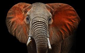 Картинка elephant, ears, mammal