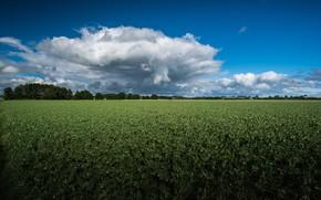 Картинка зелень, поле, небо, облака, синева, плантация