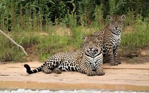 Картинка море, хищники, ягуары