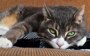 Картинка кошка, кот, взгляд, морда, диван, портрет, лежит, зеленые глаза, серый с белым