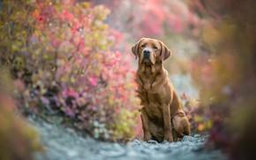 Картинка осень, взгляд, морда, листья, ветки, природа, поза, камни, фон, листва, собака, размытие, лапы, сидит, лабрадор, …