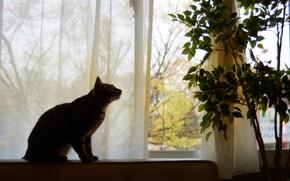 Картинка кошка, кот, взгляд, листья, ветки, поза, дом, комната, мебель, растение, силуэт, окно, горшок, шторы, деревце, …