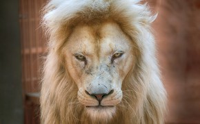 Картинка Lion, dignity, prestige, white lion, regard