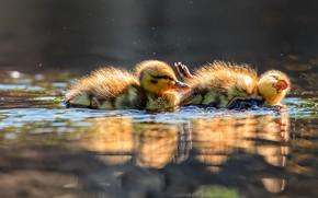 Картинка свет, парочка, утята, два, птенцы, водоем, барахтаются