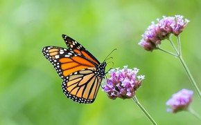 Картинка бабочка, цветки, butterfly