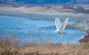 Картинка сова, птица, белая, полярная, полярная сова