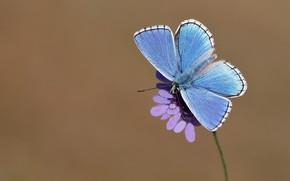 Картинка цветок, макро, фон, бабочка, насекомое, крылышки, голубая
