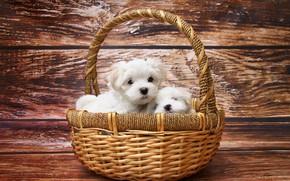 Обои собаки, щенки, малыши, корзинка, мордашки