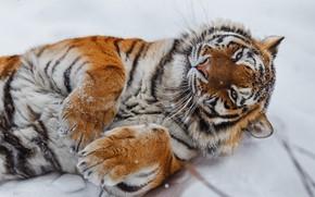 Картинка снег, тигр, лапы, дикая кошка, Олег Богданов