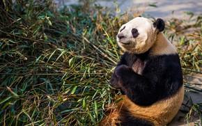Картинка морда, свет, поза, лапы, бамбук, медведь, медитация, панда, сидит, закрытые глаза