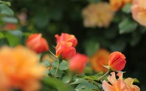 Картинка оранжевый, розы, бутоны