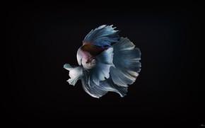 Картинка Минимализм, Рыбка, Рыба, Фон, Арт, Золотая рыбка, Вуалехвост