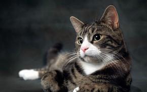 Картинка кот, взгляд, поза, серый, фон, лапы, лежит