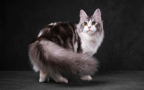 Картинка кошка, кот, взгляд, морда, поза, темный фон, серая, милашка, полосатая, желтые глаза, пушистая, мраморный окрас