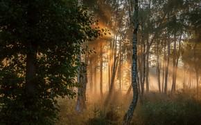 Картинка лес, солнце, лучи, деревья, туман, листва