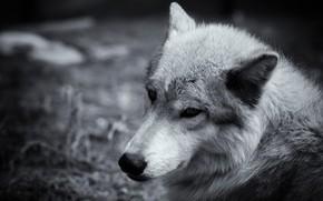 Картинка взгляд, морда, серый, волк, сепия, крупным планом