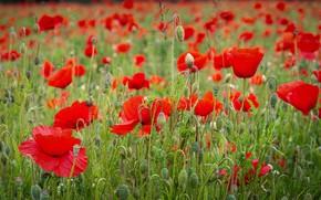 Картинка лето, цветы, яркие, маки, красные, много, маковое поле